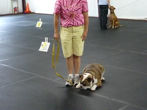 bulldog puppy in beginner rally class