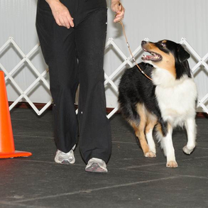 dog participating in advanced rally class