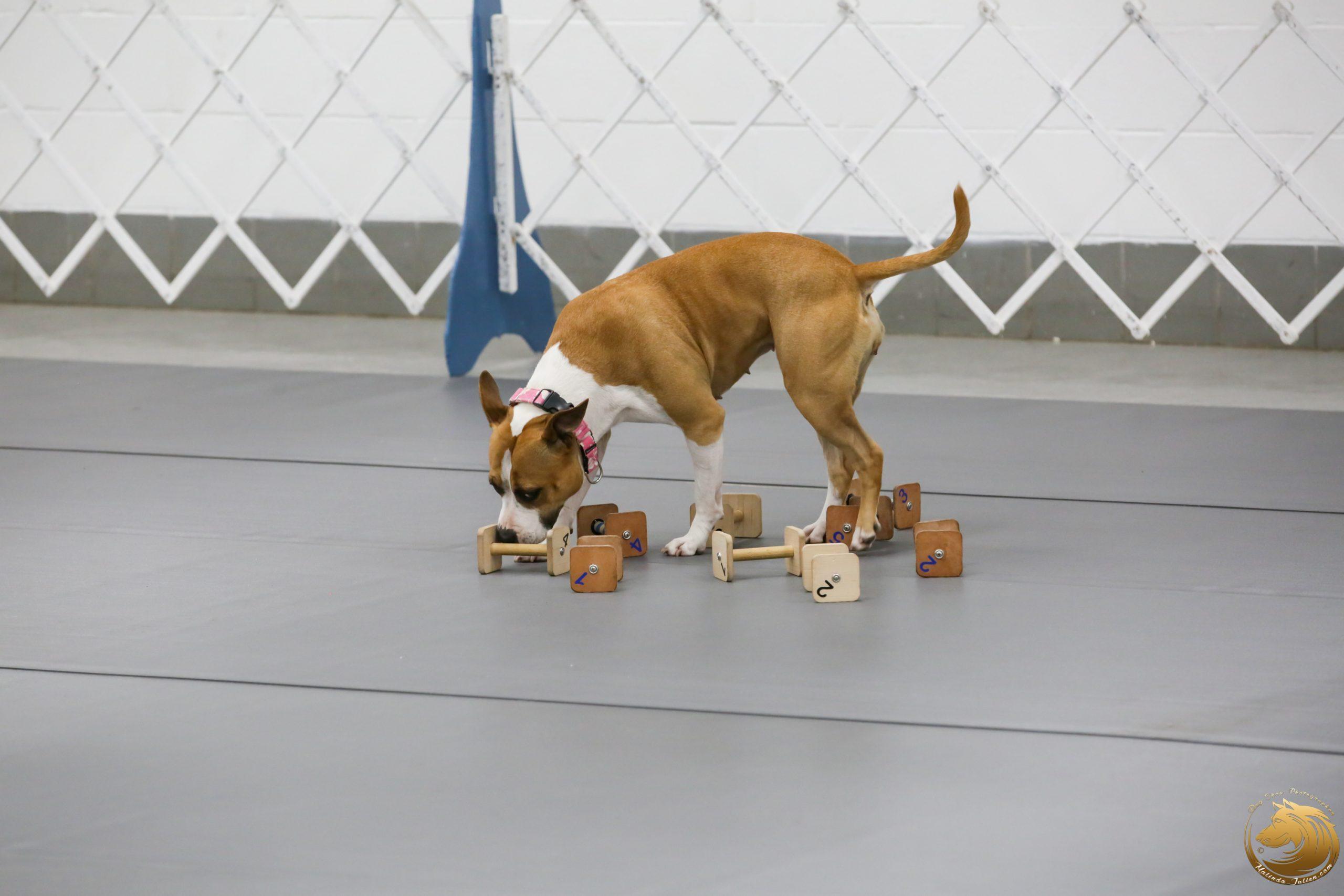 American Staffordshire Terrier 94 FRI Sylvie Nuzzolilo_JJJ_1878_GLNRSE19-HR3