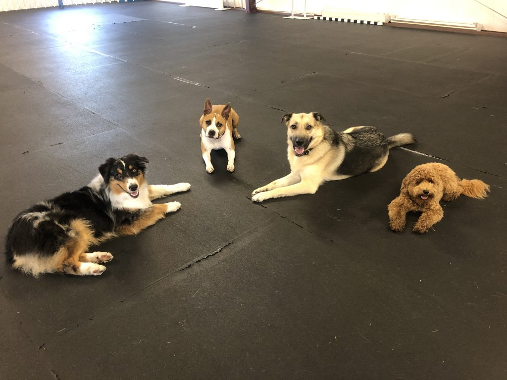 dogs in obedience training class